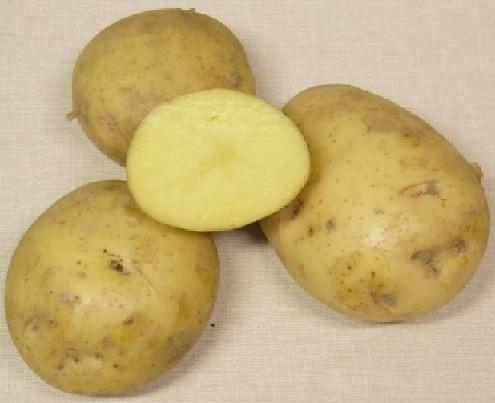 Картофель сорт Сударыня