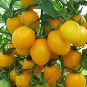 Томат Медовая капля — семена
