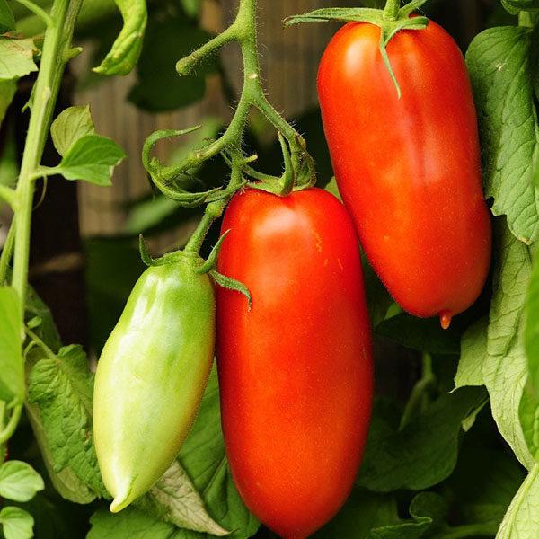 Томат Перцевидный красный семена