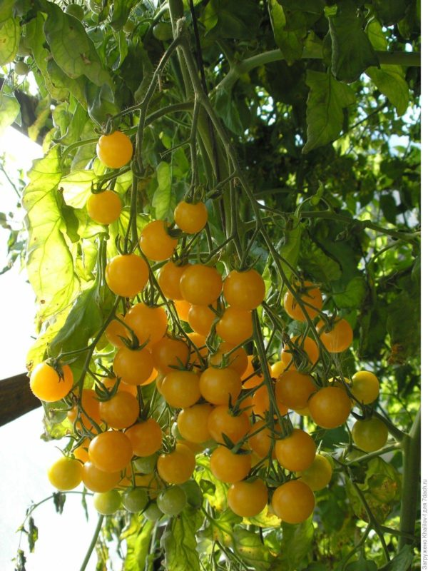 Томат  Вишня желтая семена