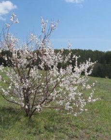 Абрикос сибирский — семена
