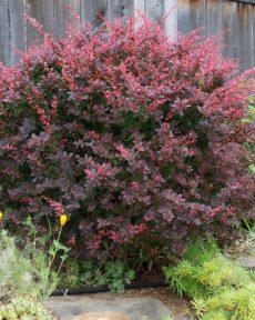 Семена Барбариса Пурпурного
