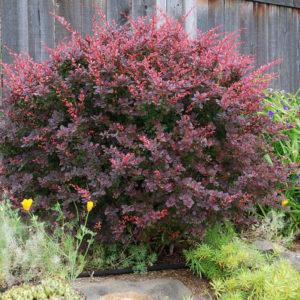 Барбарис пурпурный семена