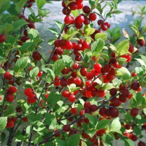 Вишня войлочная — семена