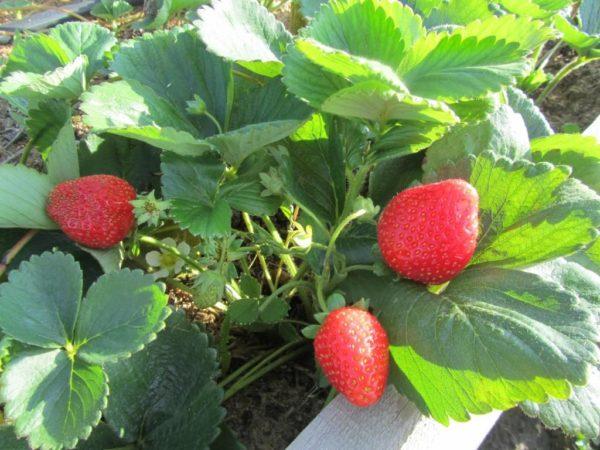 Клубника Альбион — семена