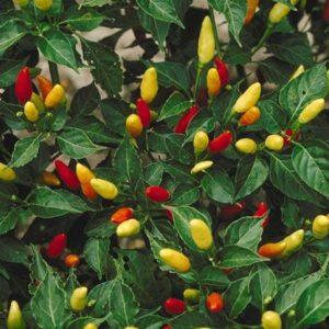 Семена перцев