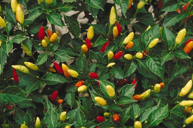 Семена перцев для рассады купить с доставкой по РФ почтой.