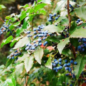 Барбарис шароплодный — семена