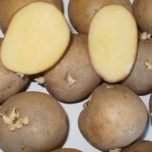 Картофель сорт Каратоп