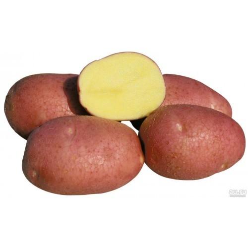Картофель сорт Беллароза