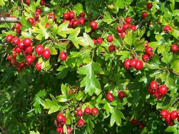 Боярышник сибирский — семена