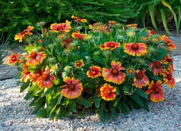 Гайлардия Лоренца — семена