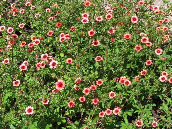 Лапчатка непальская Мисс Вильмонт — семена