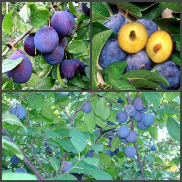 Слива синяя яичная семена