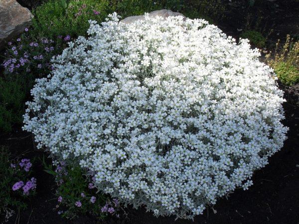 Ясколка Биберштейна войлочная — семена