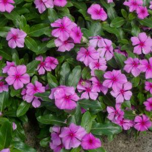 Барвинок розовый многолетний семена