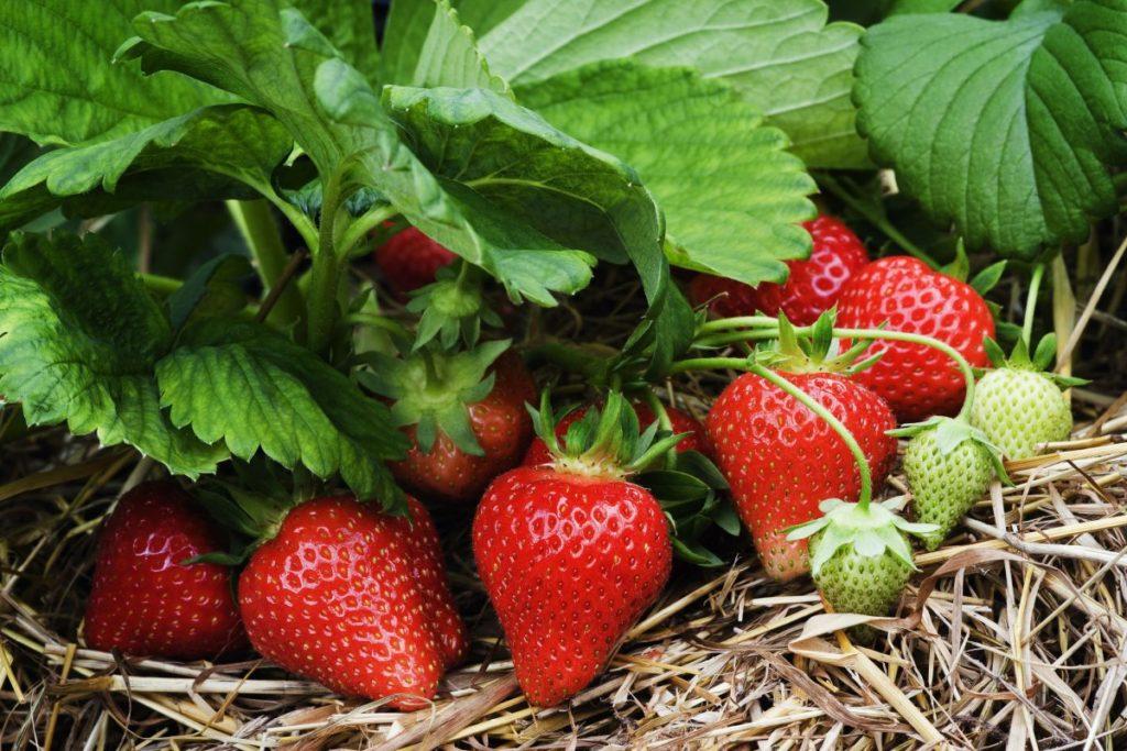 Купить семена земляники садовой с доставкой по РФ почтой.