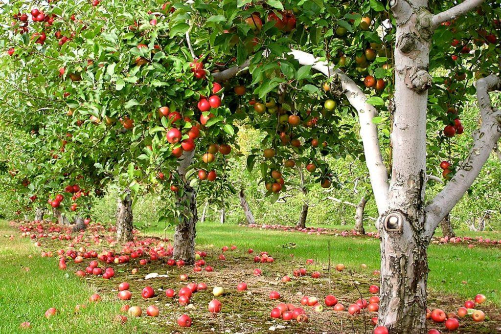 Купить семена Семена плодовых деревьев с доставкой по РФ почтой