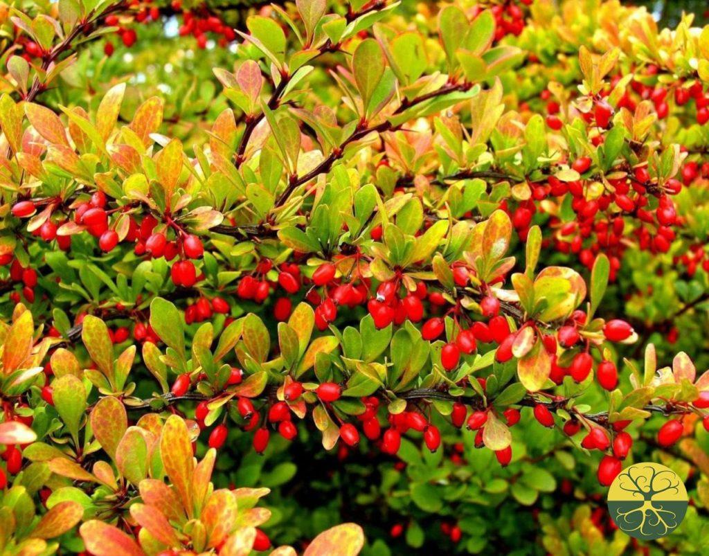 Семена плодовых кустарников купить у Семян Семяныча с доставкой по РФ почтой.