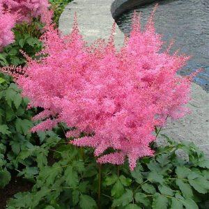 Астильба карликовая «Pink Lightning»