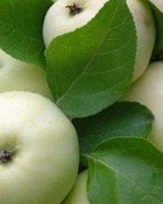 Яблоня Папировка (Белый налив)