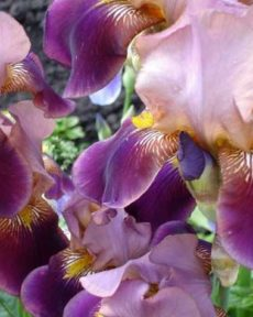 Ирис Бородатый Фиолетовый