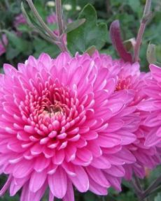 Хризантема Розовая корейская