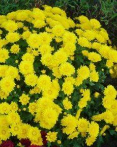 Хризантема Желтая Корейская
