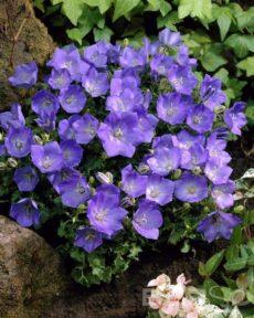 Колокольчик карпатский синий Карпатенкроне