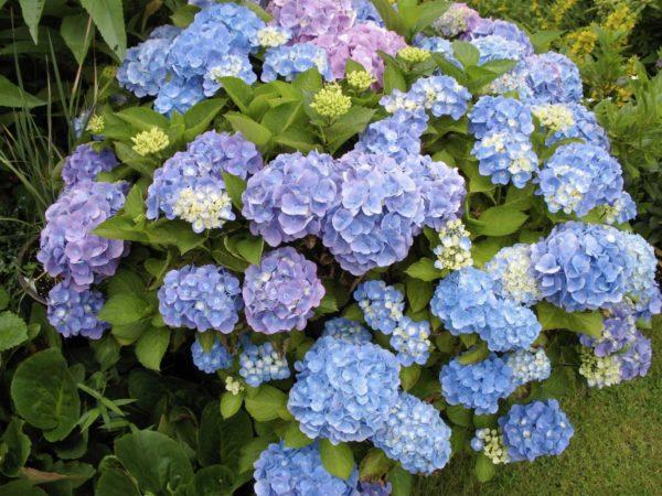 Гортензия FOREVER & EVER BLUE