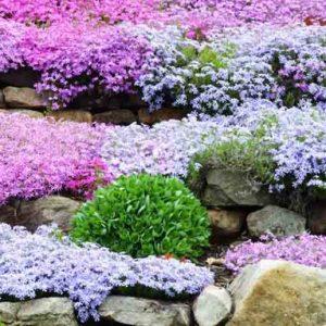 Саженцы многолетних почвопокровных цветов