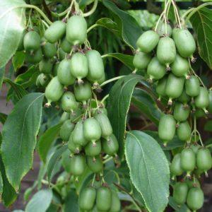 Саженцы Плодовых Лиан