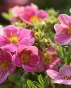 Лапчатка Розовая Пинк Парадайз