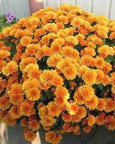 Хризантема мультифлора мини