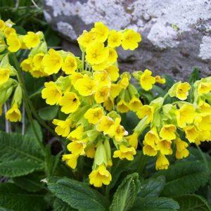 Примула Весенняя Желтая