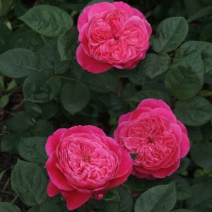 Роза Академия Accademia