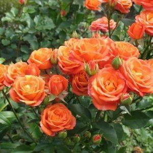Роза Алегрия Alegria