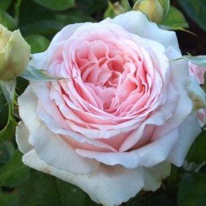 Роза Андре ЛеНотр