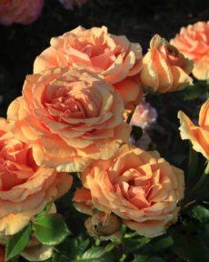 Роза Ашрам Ashram