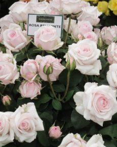 Роза Бельмонт Belmonte