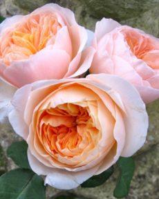 Роза Джульетта Juliet