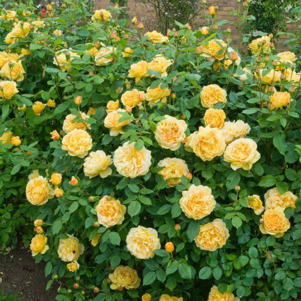 Роза Голден Селебрейшен Golden Celebration