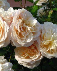 Роза Инглиш Гарден English Garden