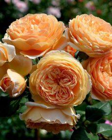 Роза Кроун принцесс Маргарет Crown princess Margareta