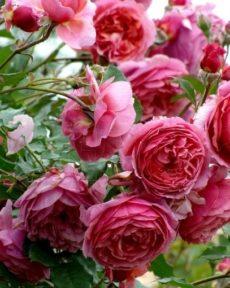 Роза Ладюре Laduree