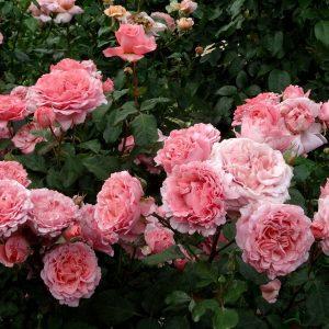 Роза Лоран Каброль Laurent Cabrol