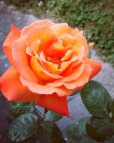 Роза Луи де Фюнес Louis de Funes