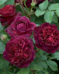 Роза Манстед Вуд Munstead Wood