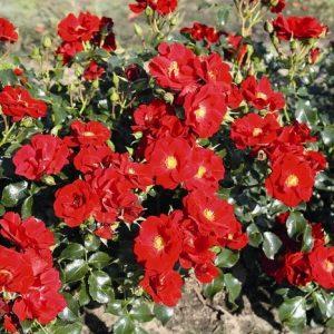 Роза Матадор MATADOR