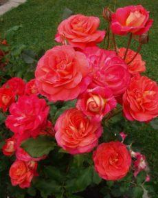 Роза Мидсаммер Midsummer